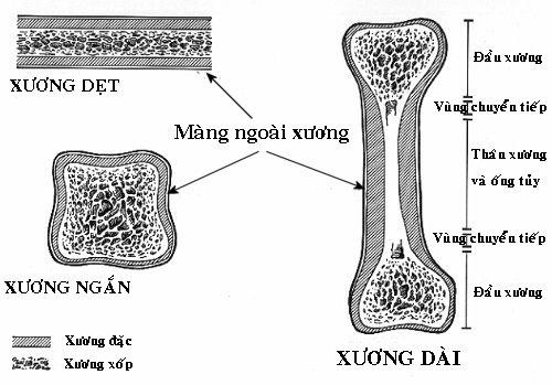 Kết quả hình ảnh cho cấu trúc xương ngắn